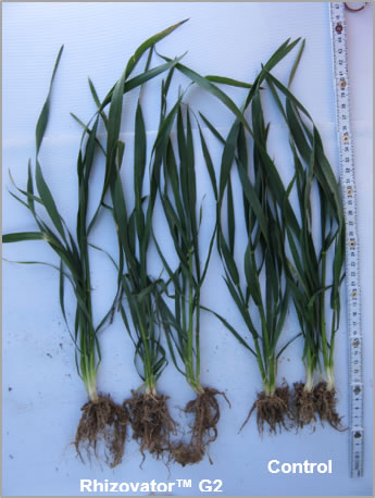 The Rhizovator™ G2 plants on the left show better vegetative growth as well as root mass and taller plants compared to the control plants on the right.