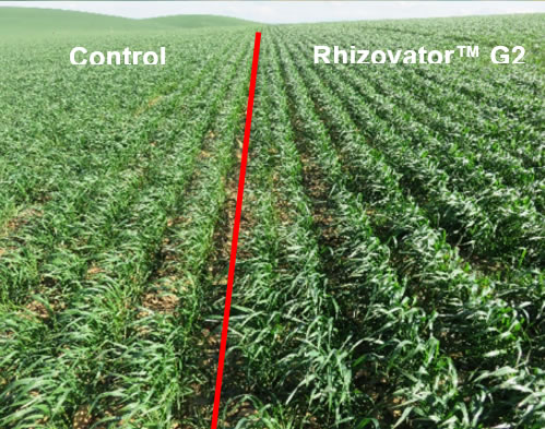 The control plants on the left are much lighter in colour than the Rhizovator™ G2 plants on the right.