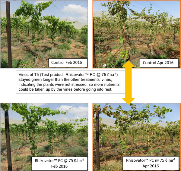 Vines of T5 (Test product; Rhizovator™ PC @ 75 ℓ.ha-1) stayed green longer than the other treatments' vines, indicating the plants were not stressed, so more nutrients could be taken up by the vines before going into rest.