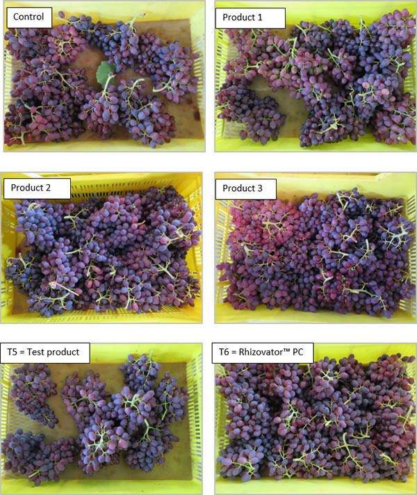 Visual effect of different applications on 'Crimson' table grapes.